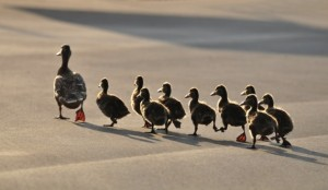 ducks-following